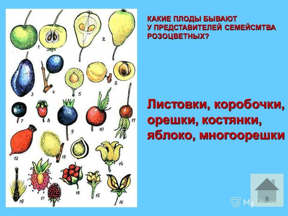 КАКИЕ ПЛОДЫ БЫВАЮТ У ПРЕДСТАВИТЕЛЕЙ СЕМЕЙСМТВА РОЗОЦВЕТНЫХ? Листовки, коробочки, орешки, костянки, яблоко, многоорешки