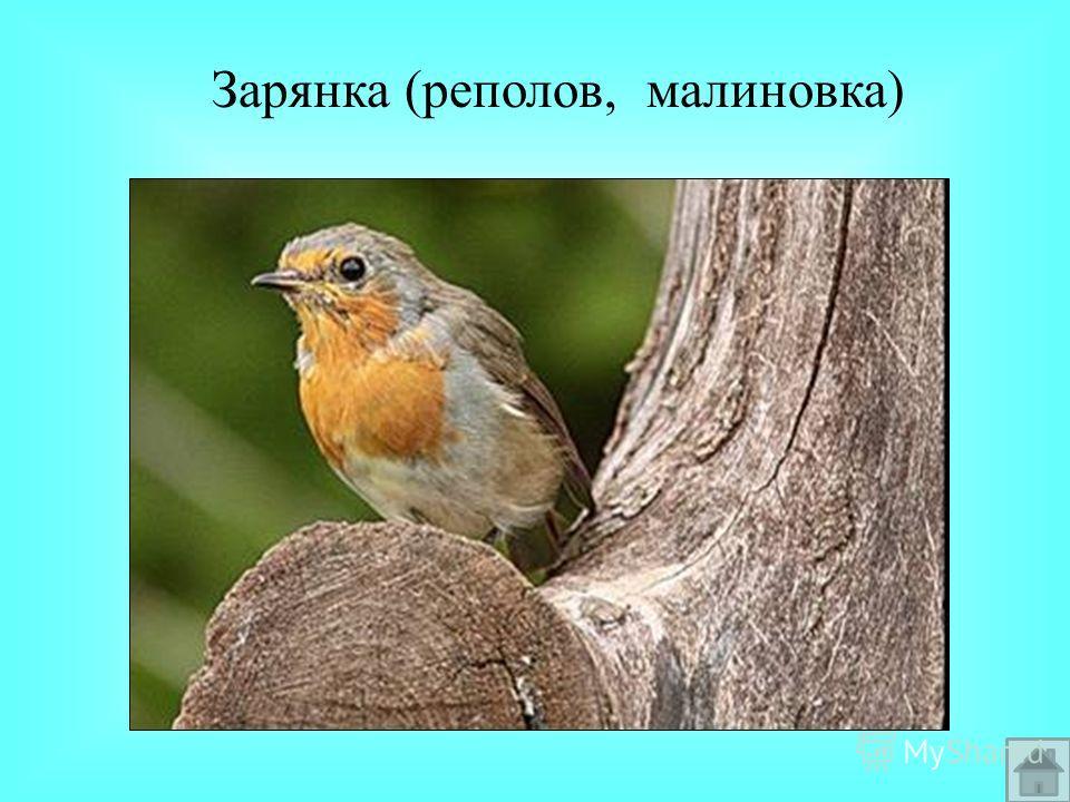 Зарянка (реполов, малиновка)