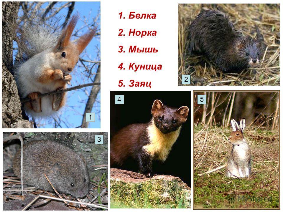 1.Белка 2.Норка 3.Мышь 4.Куница 5.Заяц 1 3 45 2