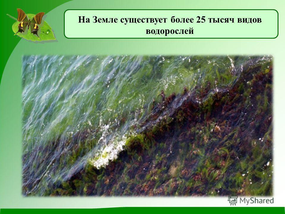 Группы растений водорослимхипапоротники хвойные растения цветковые растения