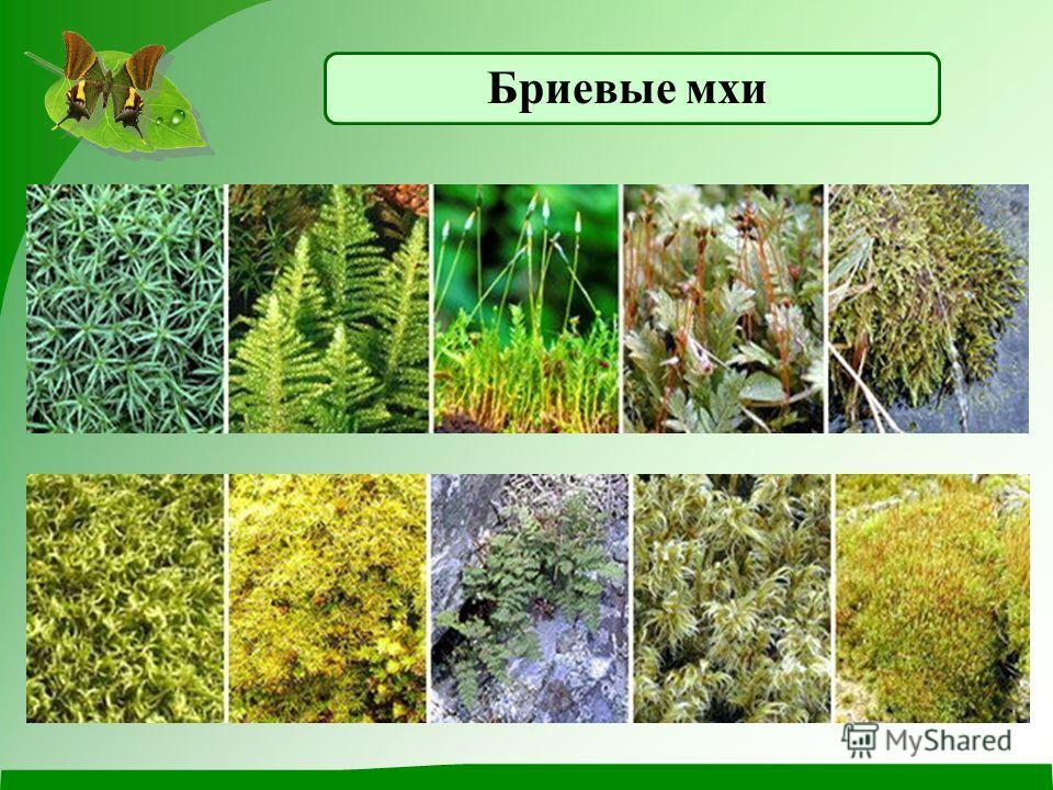 Насчитывается около 27 тысяч видов мхов