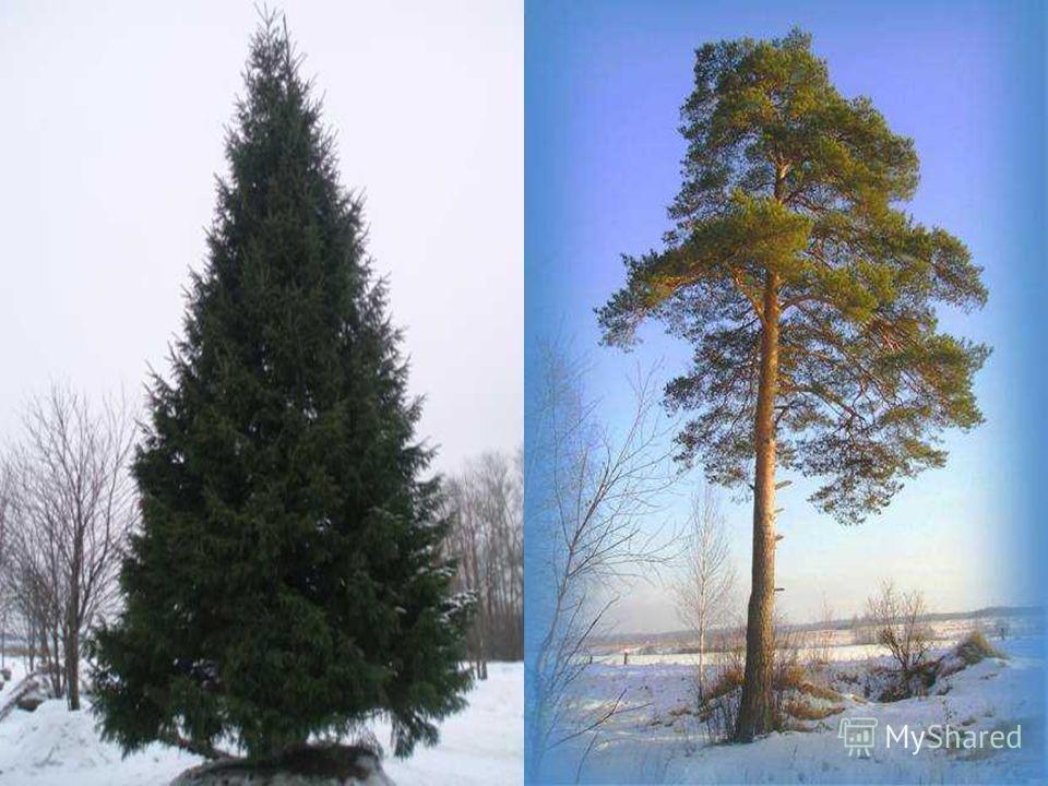 У меня длинней иголки, Чем у елки. Очень прямо я расту В высоту. Если я не на опушке, Ветви только на макушке.