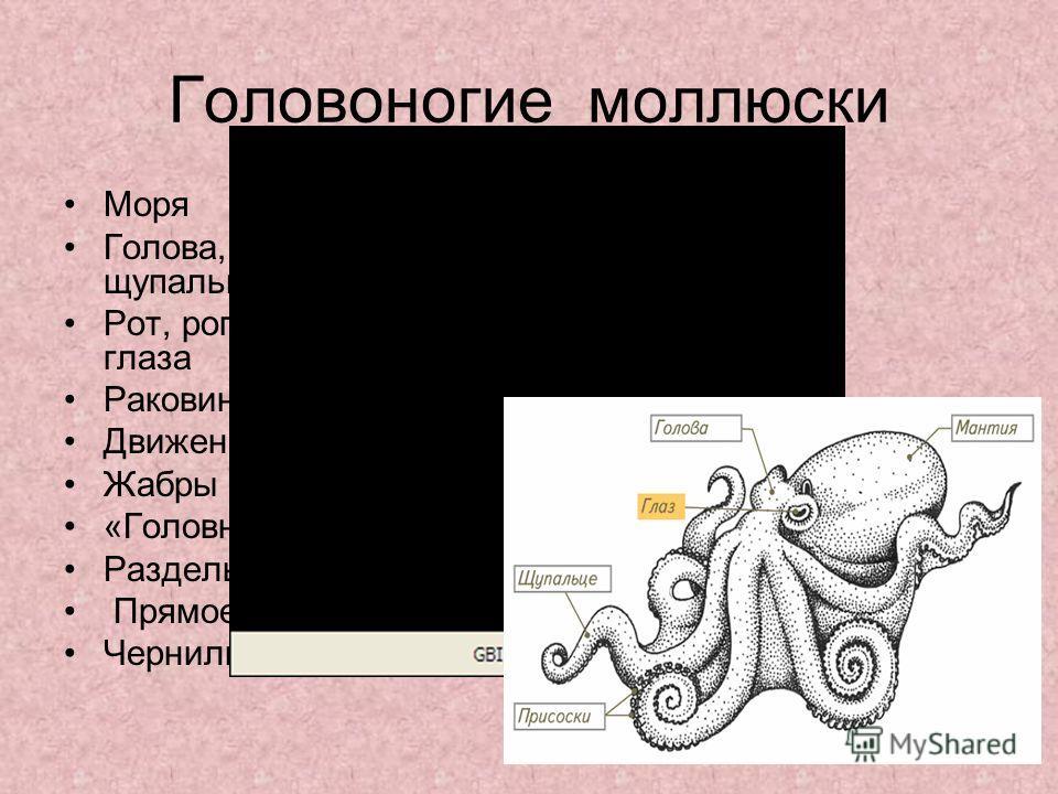 Головоногие моллюски Моря Голова, туловище, щупальца Рот, роговые челюсти,2 глаза Раковина редуцирована Движение реактивное Жабры «Головной мозг» Раздельнополы Прямое развитие Чернильная железа