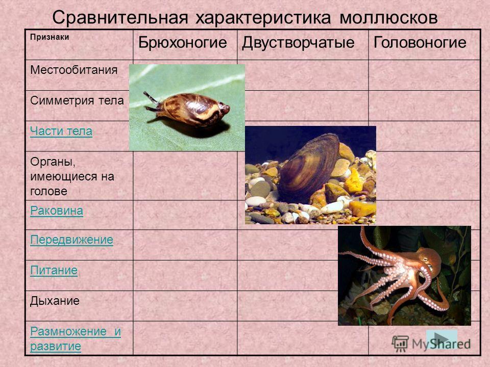 Сравнительная характеристика моллюсков Признаки БрюхоногиеДвустворчатыеГоловоногие Местообитания Симметрия тела Части тела Органы, имеющиеся на голове Раковина Передвижение Питание Дыхание Размножение и развитие