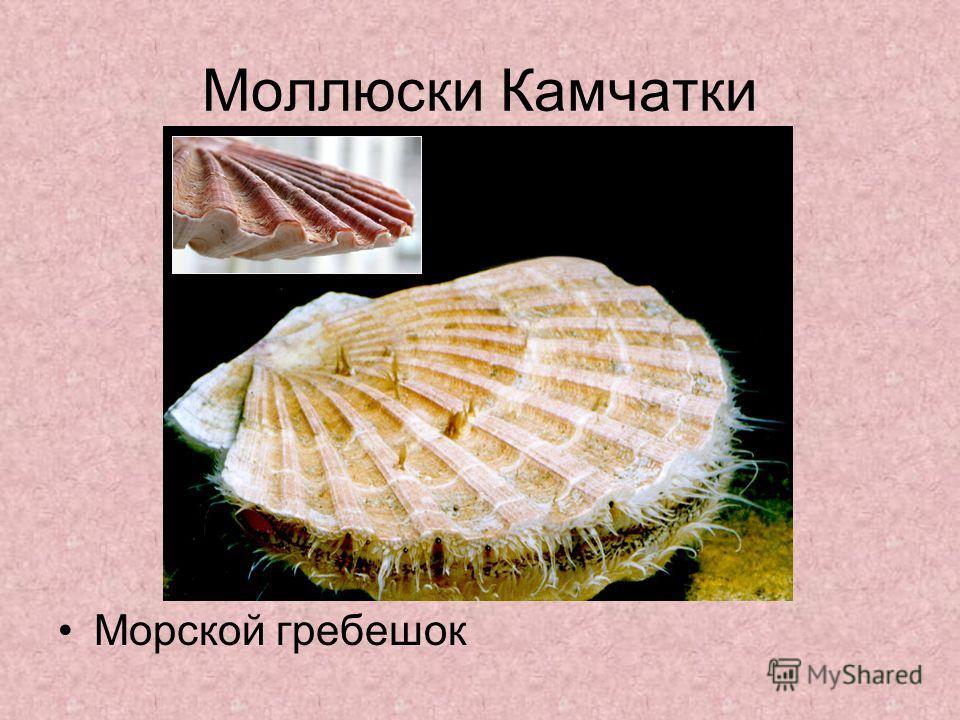 Моллюски Камчатки Морской гребешок