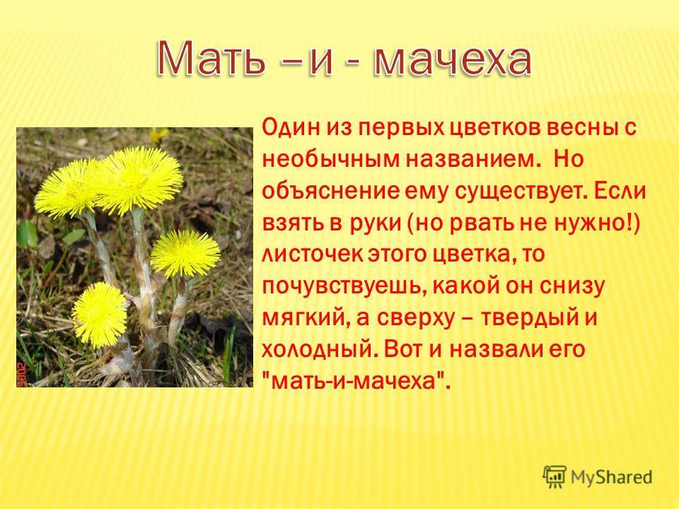 Один из первых цветков весны с необычным названием. Но объяснение ему существует. Если взять в руки (но рвать не нужно!) листочек этого цветка, то почувствуешь, какой он снизу мягкий, а сверху – твердый и холодный. Вот и назвали его мать-и-мачеха.