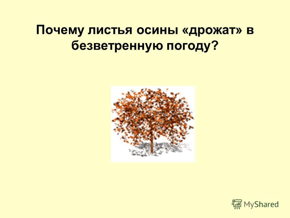Почему листья осины «дрожат» в безветренную погоду?