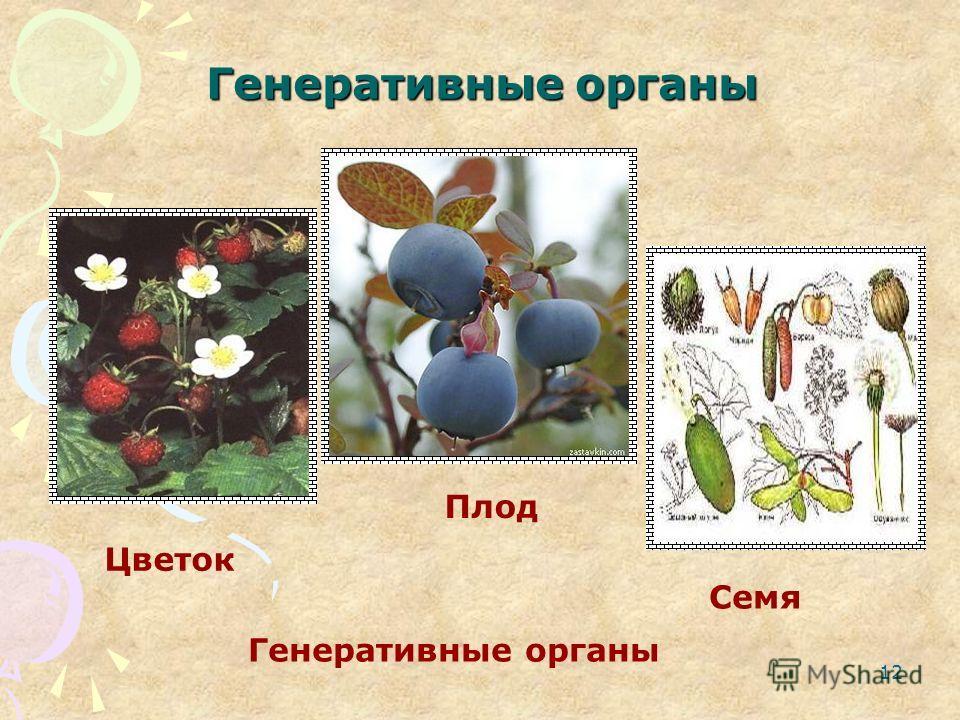 12 Генеративные органы Цветок Плод Семя Генеративные органы