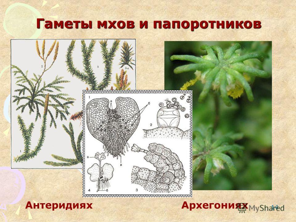 14 Гаметы мхов и папоротников АнтеридияхАрхегониях