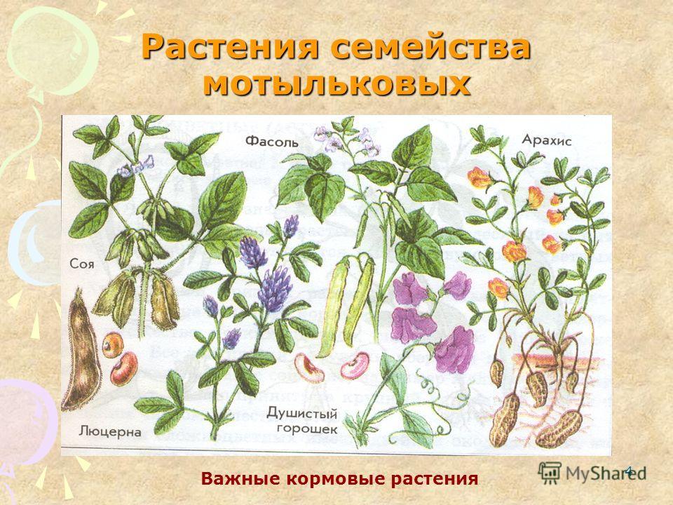 4 Растения семейства мотыльковых Важные кормовые растения