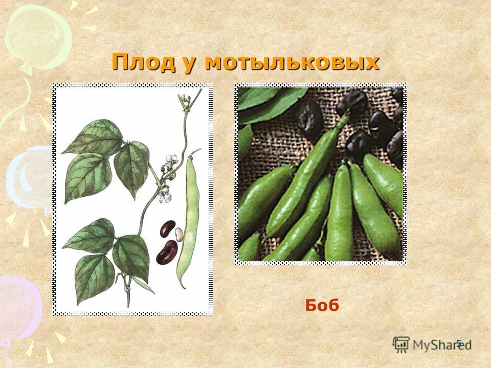 5 Плод у мотыльковых Боб