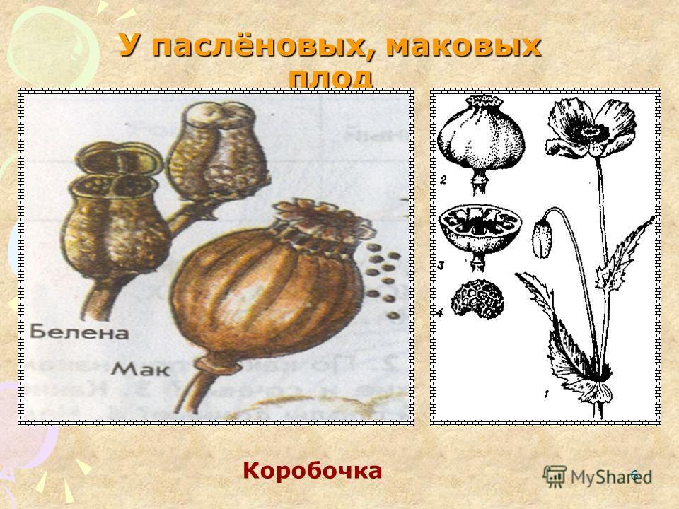 6 У паслёновых, маковых плод Коробочка