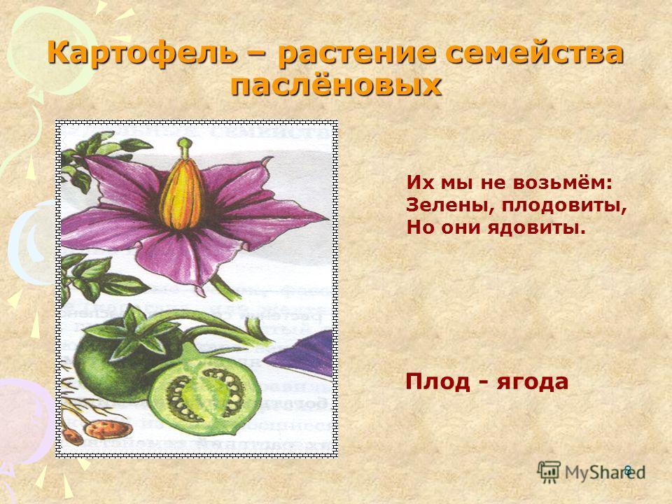 8 Картофель – растение семейства паслёновых Плод - ягода Их мы не возьмём: Зелены, плодовиты, Но они ядовиты.