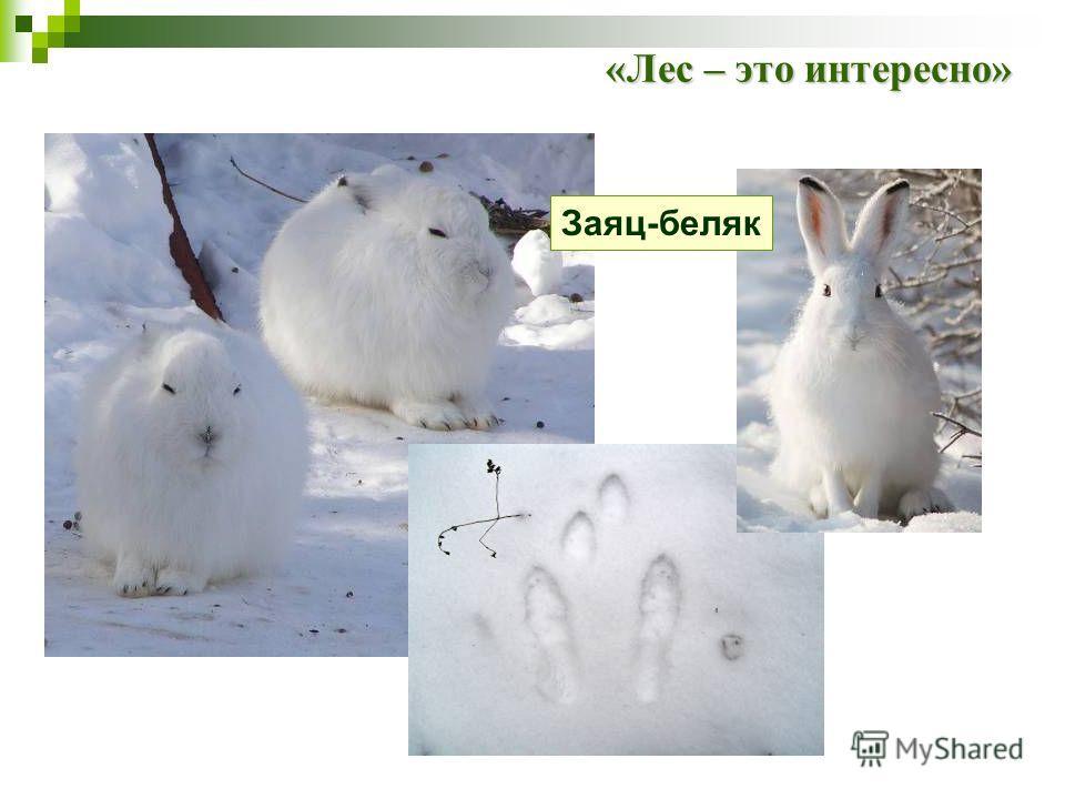 Заяц-беляк