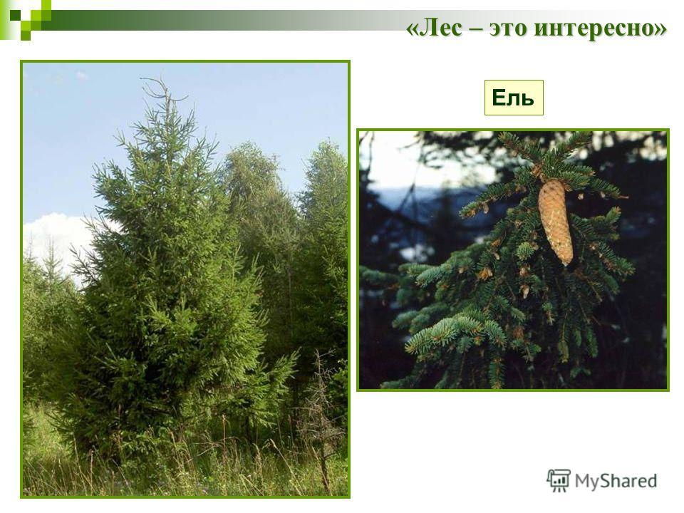 «Лес – это интересно» Ель