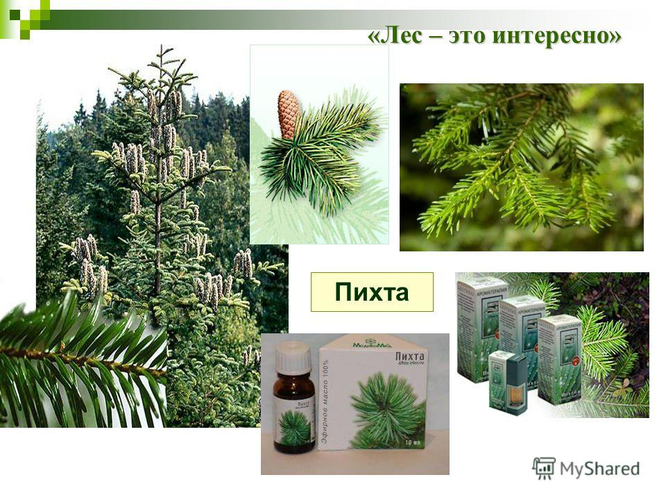 «Лес – это интересно» Пихта