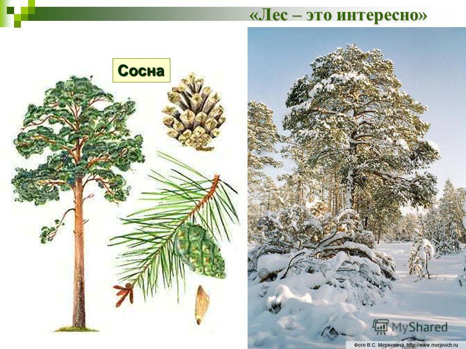 «Лес – это интересно» Сосна