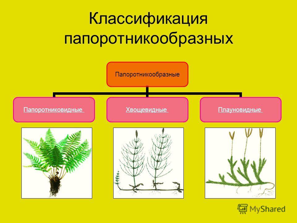 Классификация папоротникообразных Папоротникообразные ПапоротниковидныеХвощевидныеПлауновидные