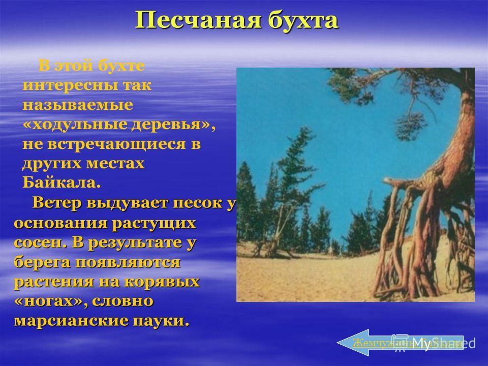 Песчаная бухта Ветер выдувает песок у основания растущих сосен. В результате у берега появляются растения на корявых «ногах», словно марсианские пауки. Ветер выдувает песок у основания растущих сосен. В результате у берега появляются растения на коря