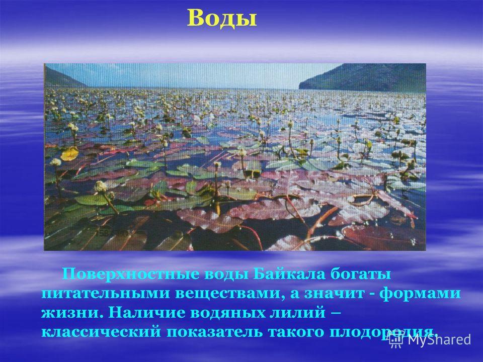 Поверхностные воды Байкала богаты питательными веществами, а значит - формами жизни. Наличие водяных лилий – классический показатель такого плодородия. Воды