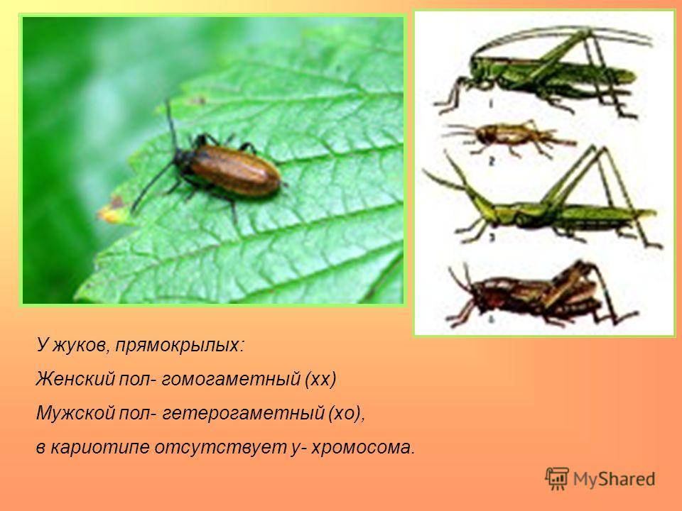 У жуков, прямокрылых: Женский пол- гомогаметный (хх) Мужской пол- гетерогаметный (хо), в кариотипе отсутствует y- хромосома.