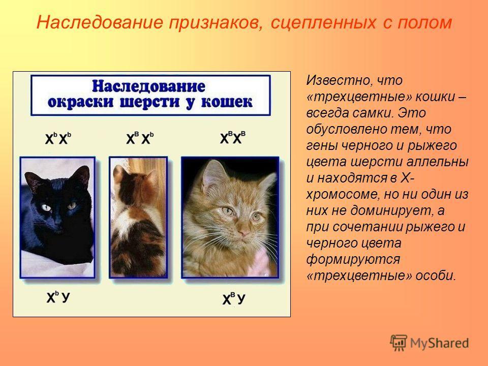 Наследование признаков, сцепленных с полом Известно, что «трехцветные» кошки – всегда самки. Это обусловлено тем, что гены черного и рыжего цвета шерсти аллельны и находятся в Х- хромосоме, но ни один из них не доминирует, а при сочетании рыжего и че
