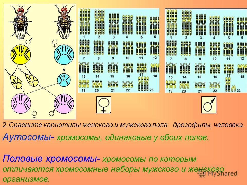 2.Сравните кариотипы женского и мужского пола дрозофилы, человека. Аутосомы- хромосомы, одинаковые у обоих полов. Половые хромосомы- хромосомы по которым отличаются хромосомные наборы мужского и женского организмов.