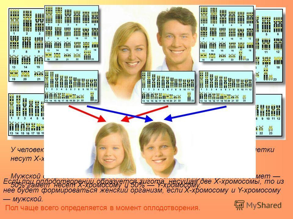 У человека женский пол является гомогаметным, то есть все яйцеклетки несут Х-хромосому. Мужской организм гетерогаметен, то есть образует два типа гамет 50% гамет несет Х-хромосому и 50% Y-хромосому. Если при оплодотворении образуется зигота, несущая