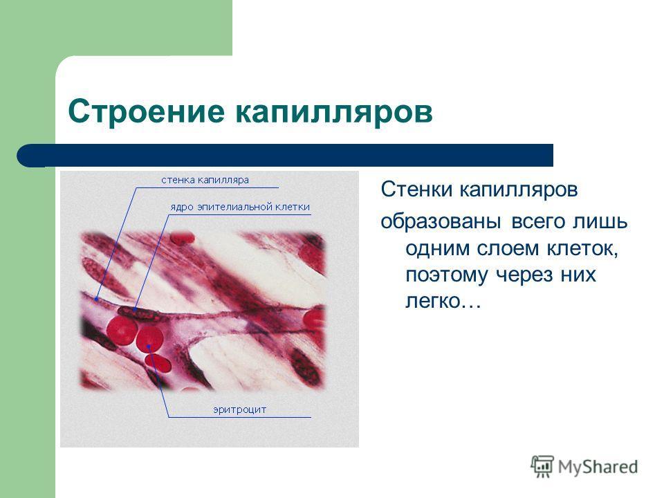 Строение капилляров Стенки капилляров образованы всего лишь одним слоем клеток, поэтому через них легко…