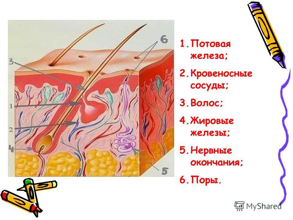 1.Потовая железа; 2.Кровеносные сосуды; 3.Волос; 4.Жировые железы; 5.Нервные окончания; 6.Поры.