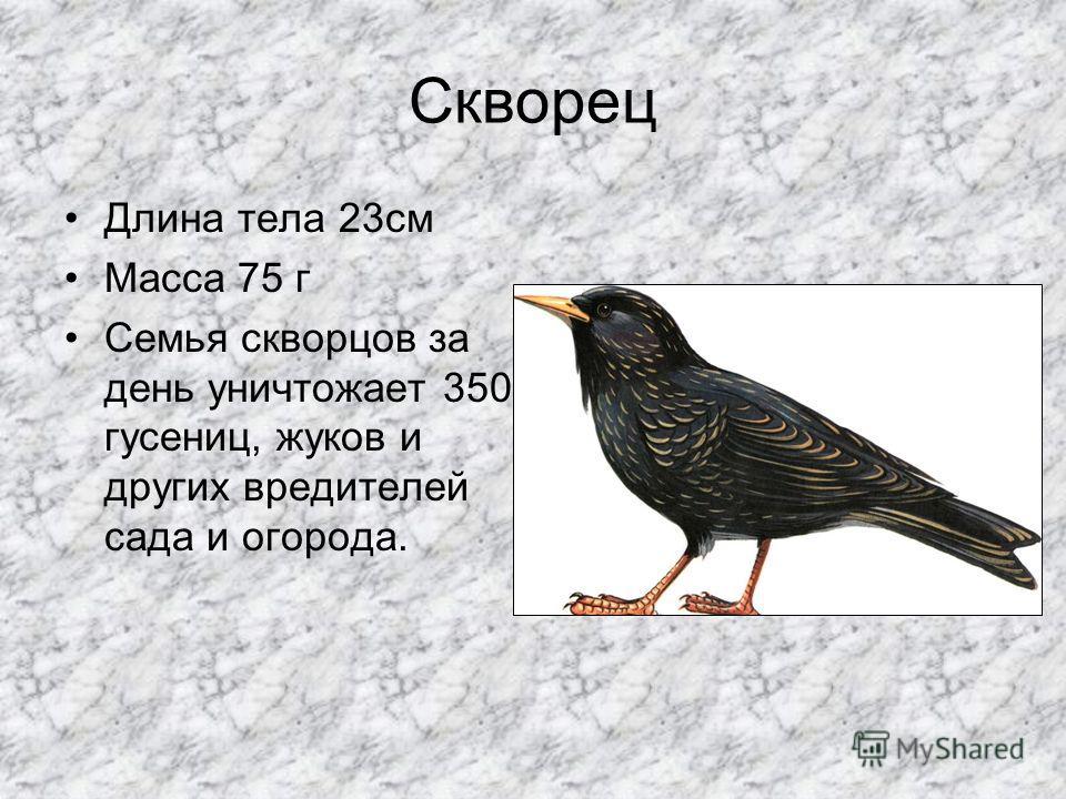 Грач Длина-45 см. Вес 310-490г. Питается насекомыми, дождевыми червями, мышевидными грызунами, семенами.