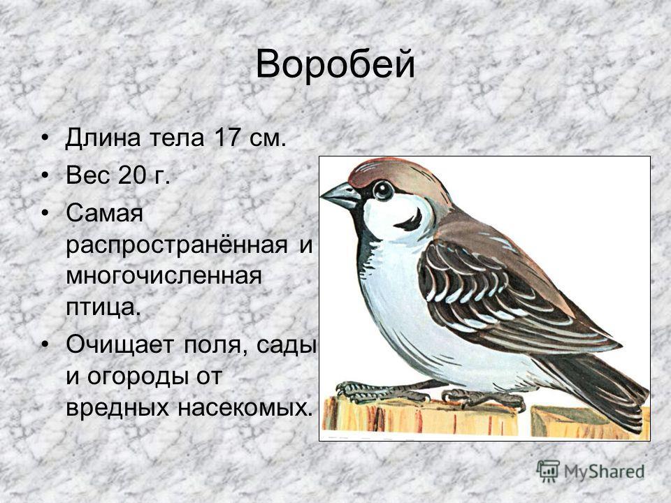 Сорока Длина тела 45-47 см Масса тела 160-260г Всеядна. Питается семенами, грызунами, птенцами и насекомыми- вредителями полей и огородов.