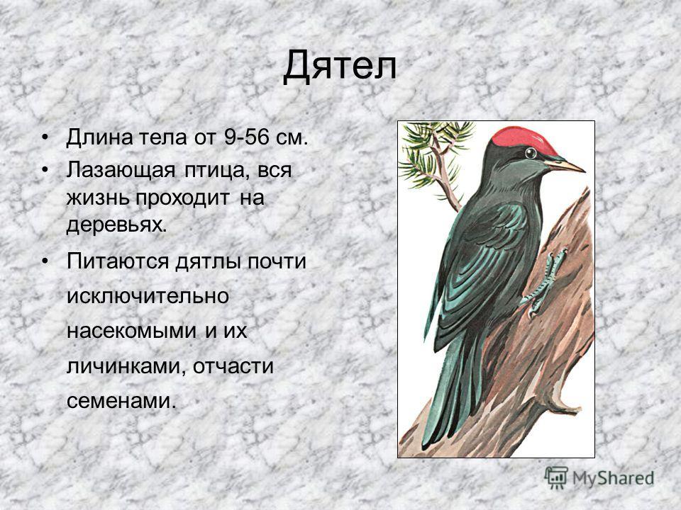 Воробей Длина тела 17 см. Вес 20 г. Самая распространённая и многочисленная птица. Очищает поля, сады и огороды от вредных насекомых.