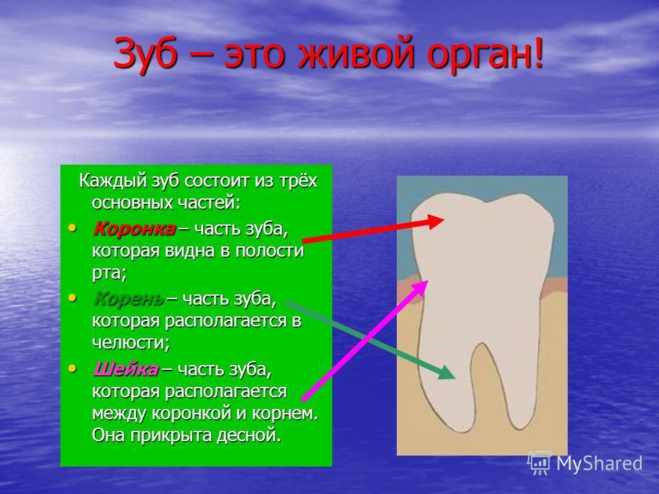 Зуб – это живой орган! Каждый зуб состоит из трёх основных частей: Каждый зуб состоит из трёх основных частей: Коронка – часть зуба, которая видна в полости рта; Коронка – часть зуба, которая видна в полости рта; Корень – часть зуба, которая располаг