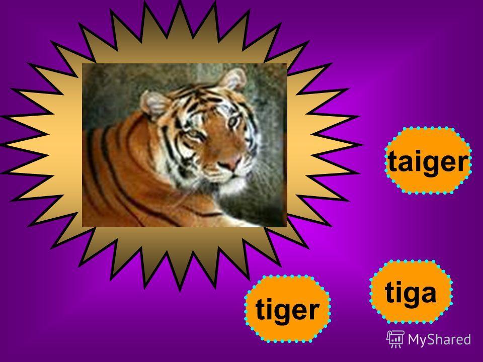tiger tiga taiger