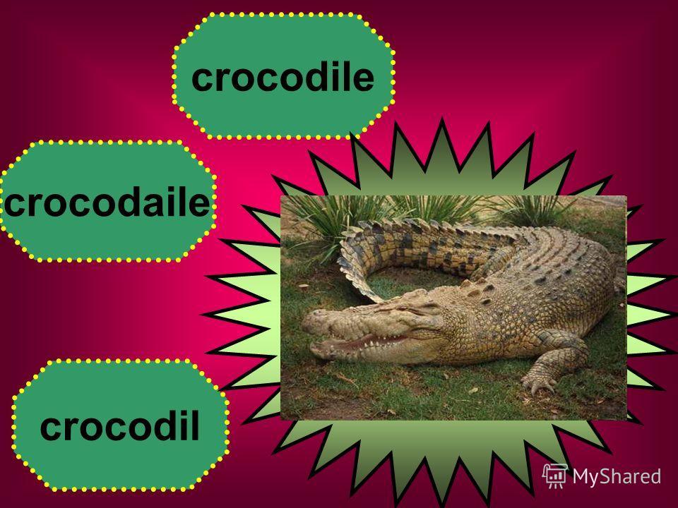 crocodaile crocodil crocodile