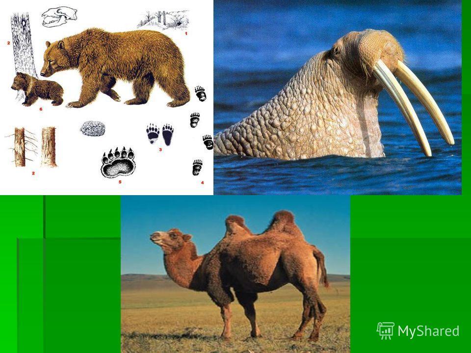 К югу от зоны тундры Барсук, лисица, белка, бурый медведь, куница, рысь, лось, Положение зоны Растения Животные Птицы Северный Ледовитый океан и острова, расположеные в нем Мхи, лишайники, полярный мох Морж тюлень, белый медведь, касатка, кит. Чистик