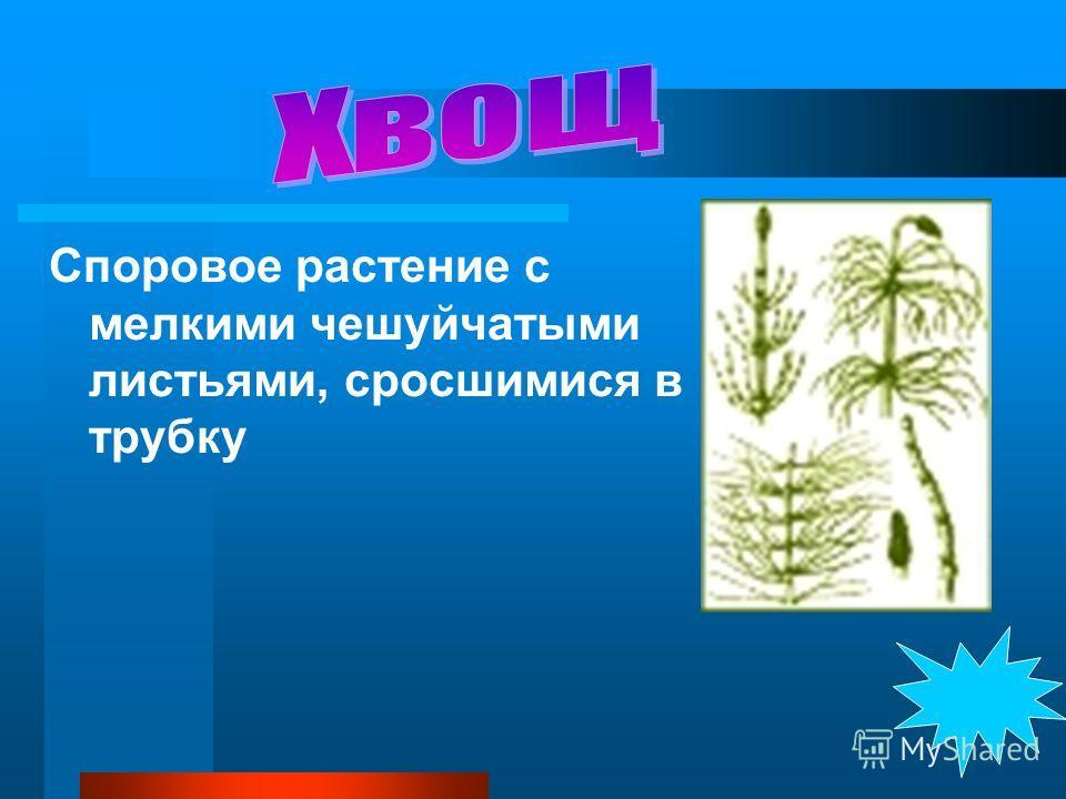 Споровое растение с мелкими чешуйчатыми листьями, сросшимися в трубку