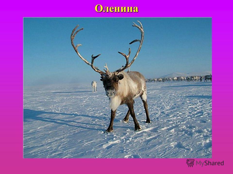 Оленина