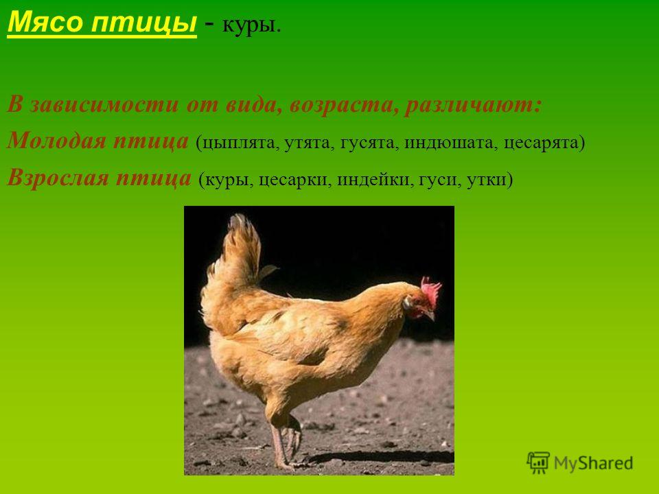 Мясо птицы - куры. В зависимости от вида, возраста, различают: Молодая птица (цыплята, утята, гусята, индюшата, цесарята) Взрослая птица (куры, цесарки, индейки, гуси, утки)