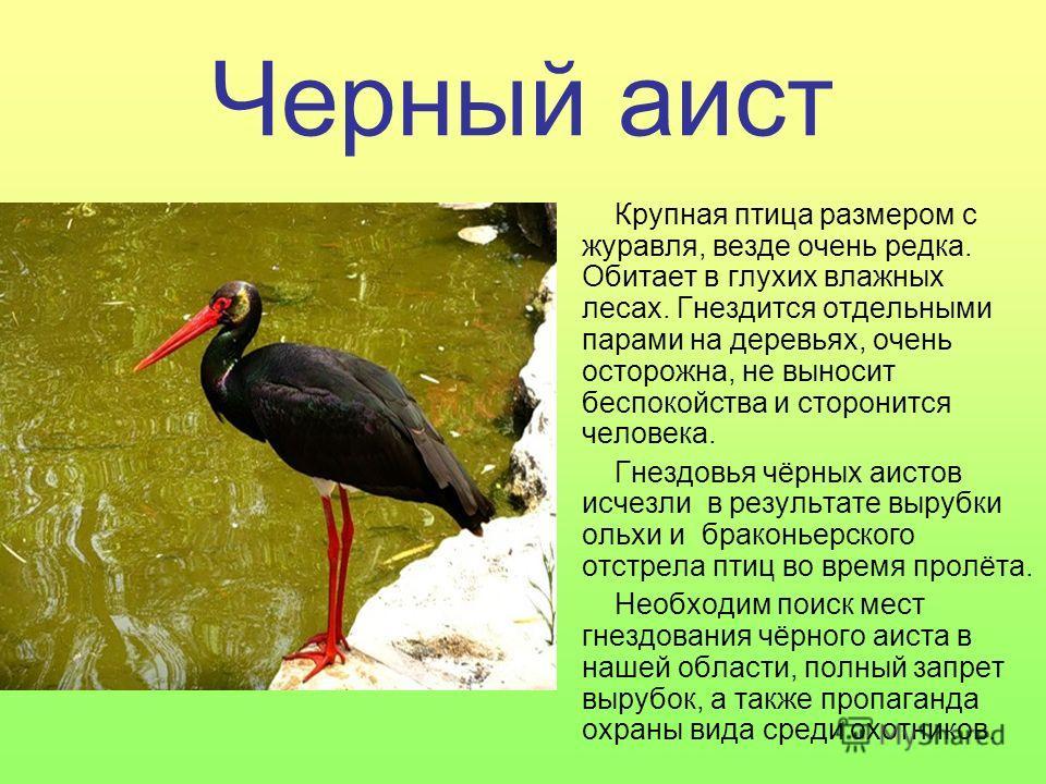 Черный аист Крупная птица размером с журавля, везде очень редка. Обитает в глухих влажных лесах. Гнездится отдельными парами на деревьях, очень осторожна, не выносит беспокойства и сторонится человека. Гнездовья чёрных аистов исчезли в результате выр