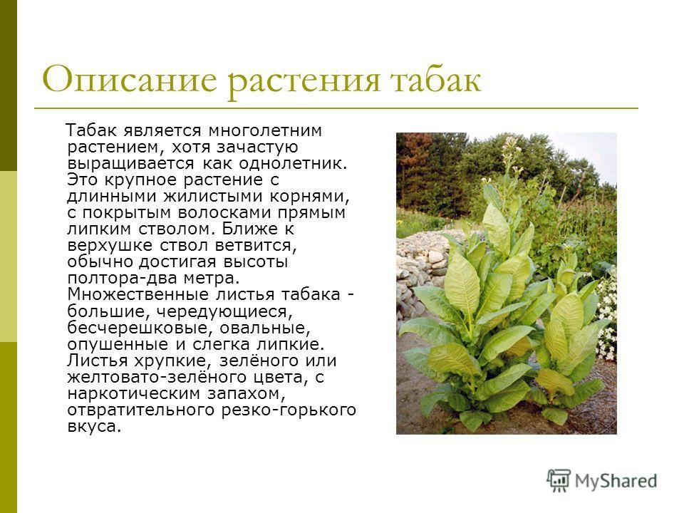 Описание растения табак Табак является многолетним растением, хотя зачастую выращивается как однолетник. Это крупное растение с длинными жилистыми корнями, с покрытым волосками прямым липким стволом. Ближе к верхушке ствол ветвится, обычно достигая в