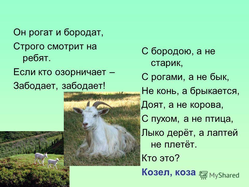 Он рогат и бородат, Строго смотрит на ребят. Если кто озорничает – Забодает, забодает! С бородою, а не старик, С рогами, а не бык, Не конь, а брыкается, Доят, а не корова, С пухом, а не птица, Лыко дерёт, а лаптей не плетёт. Кто это? Козел, коза