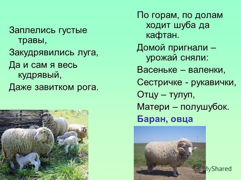 Заплелись густые травы, Закудрявились луга, Да и сам я весь кудрявый, Даже завитком рога. По горам, по долам ходит шуба да кафтан. Домой пригнали – урожай сняли: Васеньке – валенки, Сестричке - рукавички, Отцу – тулуп, Матери – полушубок. Баран, овца