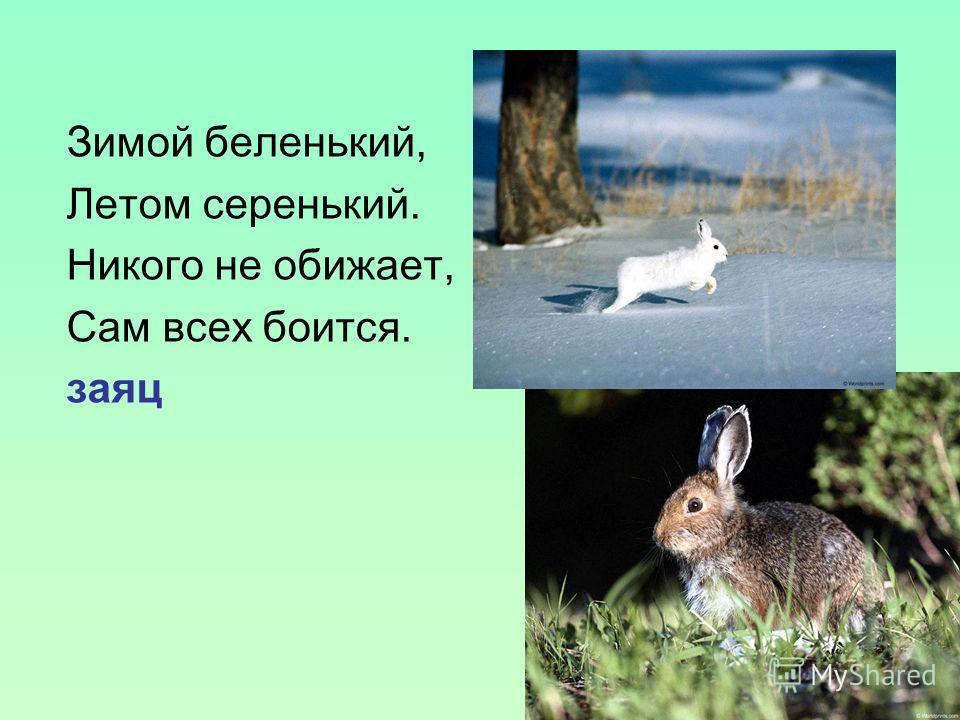 Зимой беленький, Летом серенький. Никого не обижает, Сам всех боится. заяц