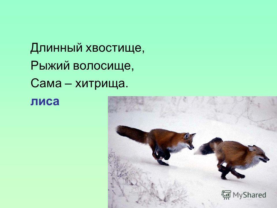 Длинный хвостище, Рыжий волосище, Сама – хитрища. лиса