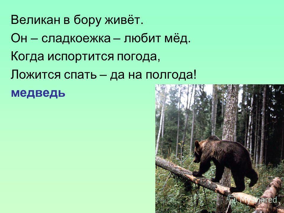 Великан в бору живёт. Он – сладкоежка – любит мёд. Когда испортится погода, Ложится спать – да на полгода! медведь