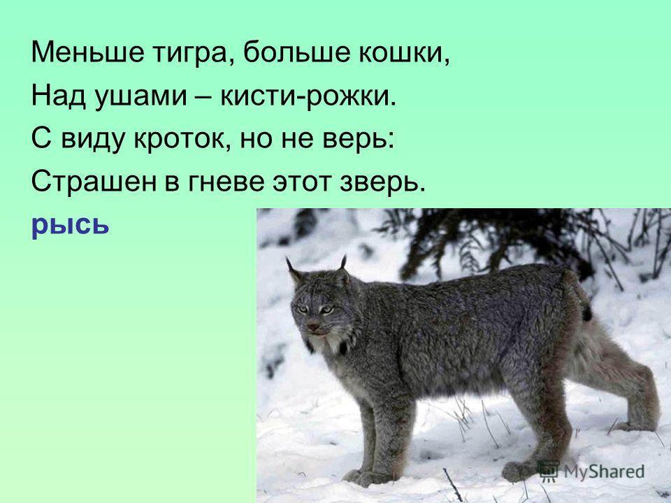 Меньше тигра, больше кошки, Над ушами – кисти-рожки. С виду кроток, но не верь: Страшен в гневе этот зверь. рысь