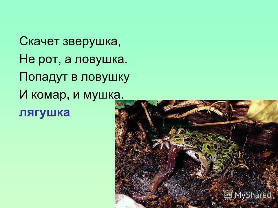 Скачет зверушка, Не рот, а ловушка. Попадут в ловушку И комар, и мушка. лягушка