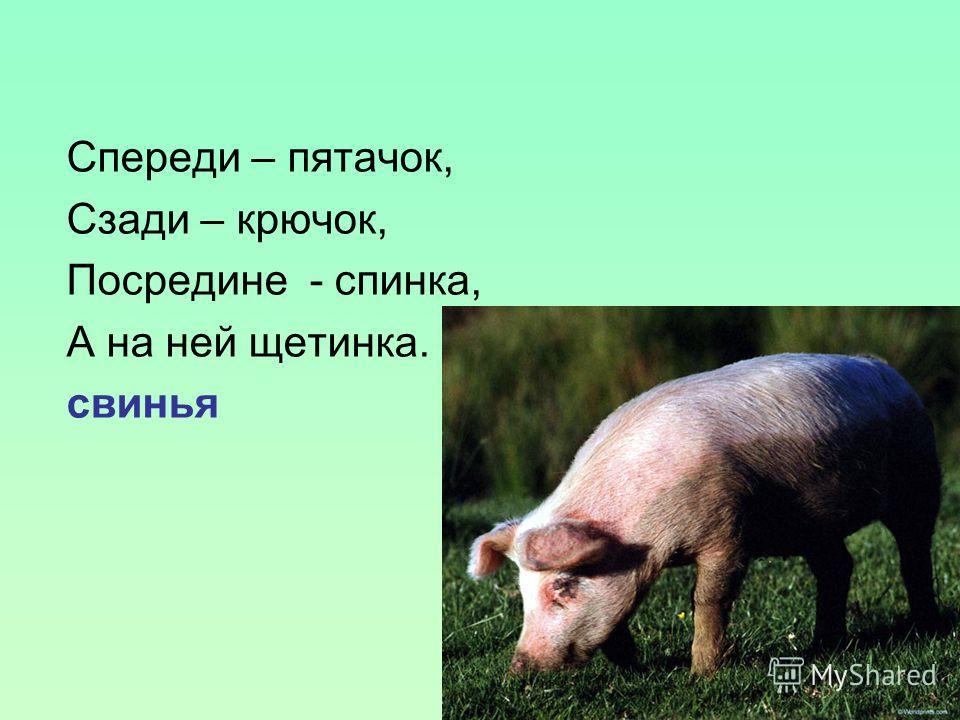 Спереди – пятачок, Сзади – крючок, Посредине - спинка, А на ней щетинка. свинья